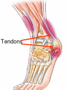 Anatomie du tendon